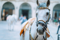 Portrait of the world famous Lipizzaner Stallion legendary White Stallions horse before show - PhotoDune Item for Sale