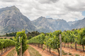 View of vineyards near Stellenbosch - PhotoDune Item for Sale
