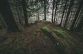 Dark pine tree forest at dusk - PhotoDune Item for Sale