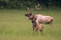 Generations of Elk - PhotoDune Item for Sale