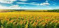 looming sunflower field - PhotoDune Item for Sale