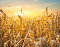 Golden wheat field - PhotoDune Item for Sale