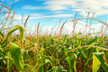 Field with green corn - PhotoDune Item for Sale