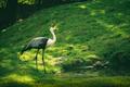 Closeup shot of a Wattled crane - PhotoDune Item for Sale