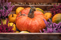 Colorful pumpkins for halloween decoration. Close up view - PhotoDune Item for Sale