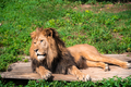 Lion lying on the grass with a calm face expression - PhotoDune Item for Sale