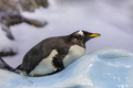 penguin in Loro Park. Tenerife, Spain - PhotoDune Item for Sale