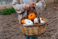 Woman holding a basket with pumpkins in her garden - PhotoDune Item for Sale