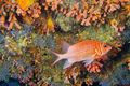 White-tail Squirrelfish, South Ari Atoll, Maldives - PhotoDune Item for Sale
