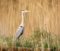 Grey heron bird standing at the water - PhotoDune Item for Sale