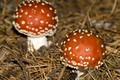 Fly Agaric,Guadarrama National Park, Spain - PhotoDune Item for Sale
