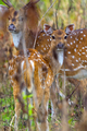 Spotted Deer, Cheetal, Royal Bardia National Park, Nepal - PhotoDune Item for Sale