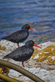 African Black Oystercatcher, Walker Bay Nature Reserve, South Africa - PhotoDune Item for Sale