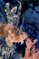 Lionfish, Red Sea, Egypt - PhotoDune Item for Sale