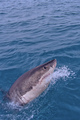 Great White Shark, Gansbaai, South Africa - PhotoDune Item for Sale