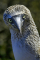 Blue-footed Booby,Galapagos National Park, Ecuador - PhotoDune Item for Sale