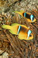 Red Sea Clownfish, Two-banded Anemonefish, Red Sea, Egypt - PhotoDune Item for Sale