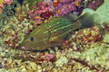 White-lined Grouper, South Ari Atoll, Maldives - PhotoDune Item for Sale