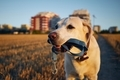 Dog holding leash in mouth - PhotoDune Item for Sale