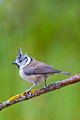 Crested Tit, Mediterranean Forest, Spain - PhotoDune Item for Sale