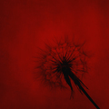 Dandelion - PhotoDune Item for Sale