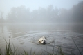 Dog swimming in fog - PhotoDune Item for Sale