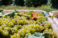 Close-up of white grape harvest under the sun background - PhotoDune Item for Sale