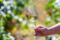 Hand holds glass with white wine next to grapes in vineyard - PhotoDune Item for Sale