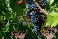 Close up of big bunch of grapes on vine close - PhotoDune Item for Sale