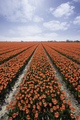 Tulip field red holland - PhotoDune Item for Sale