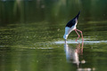 Black-winged stilt or Himantopus himantopus wades in marshland - PhotoDune Item for Sale