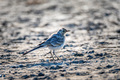 Close up of young white wagtail on the ground - PhotoDune Item for Sale