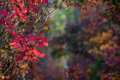 Bright autumn forest with red and orange leaves of smoke tree - PhotoDune Item for Sale