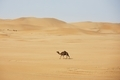 Lonely camel walking against sand dunes in desert landscape - PhotoDune Item for Sale