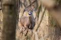 White-tailed Deer - PhotoDune Item for Sale