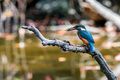 Common kingfisher or Alcedo atthis perched on branch - PhotoDune Item for Sale