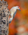 Red-bellied Woodpecker - PhotoDune Item for Sale