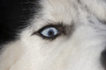 Siberian Husky dog close-up portrait with blue eye looks to right - PhotoDune Item for Sale