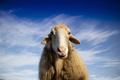 Portrait of the Italian sheep - PhotoDune Item for Sale