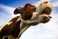 Portrait of the Italian red spotted cow - PhotoDune Item for Sale