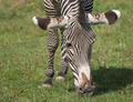 African Beautiful Zebra Eating Fresh Green Grass - PhotoDune Item for Sale