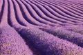 Lavender fields in summer. Guadalajara countryside, Spain. Agriculture - PhotoDune Item for Sale