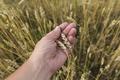 Farmer In Field Touching His Wheat Ears. - PhotoDune Item for Sale
