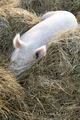 The rest of a pig in the straw bed - PhotoDune Item for Sale
