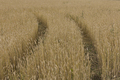 Yellow Grain Ready For Harvest Growing In A Farm Field. - PhotoDune Item for Sale