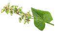 Flowering Buckwheat with unripe seeds (Fagopyrum esculentum)  isolated - PhotoDune Item for Sale