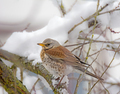 Mistle thrush bird sitting on a snow covered tree - PhotoDune Item for Sale