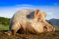 Portrait of a pig in the moment of rest - PhotoDune Item for Sale