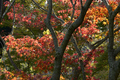 Japanese Maple tree red, orange, brown and yellow leaves in Autumn foliage display. - PhotoDune Item for Sale