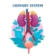 Human Urinary System Schematic Illustration - GraphicRiver Item for Sale